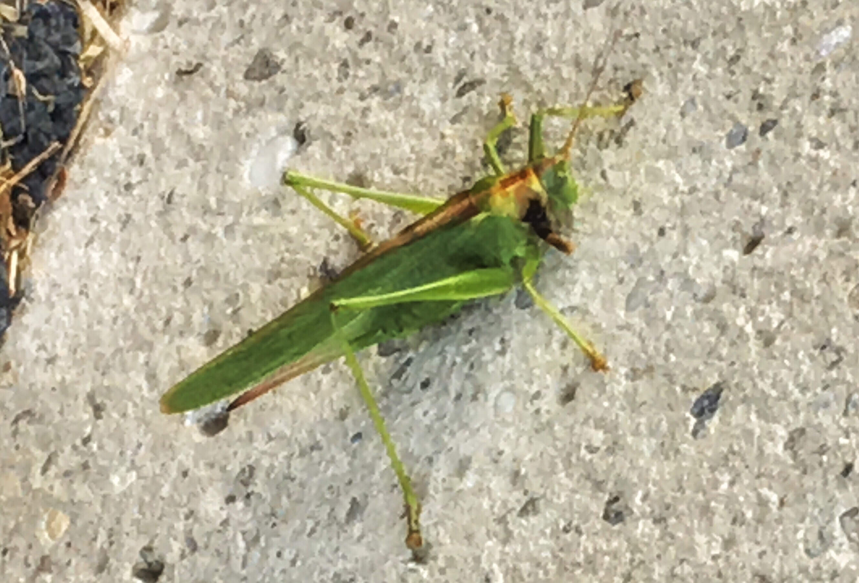 Grasshopper Symbolism Rhapsody Bohme
